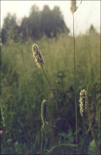 Аржанец / Тимофеевка / Timothy(-grass) / Phleum