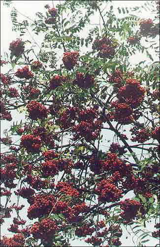 Рабiна / Рябина / Mountain ash, Rowan / Sorbus aucuparia