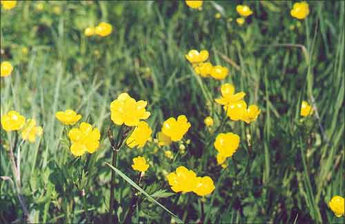 Казялец / Лютики /  Buttercup, Yellow-cup / Ranunculus